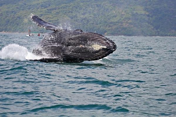 whale breaching, Uvita, Costa Rica